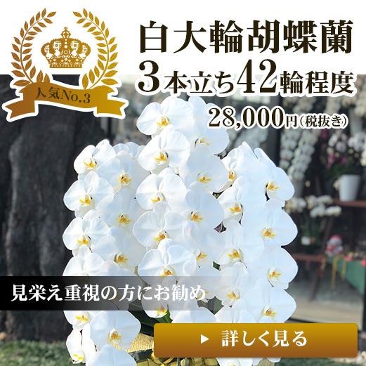 贈り物に白大輪胡蝶蘭3本立ち42輪程度