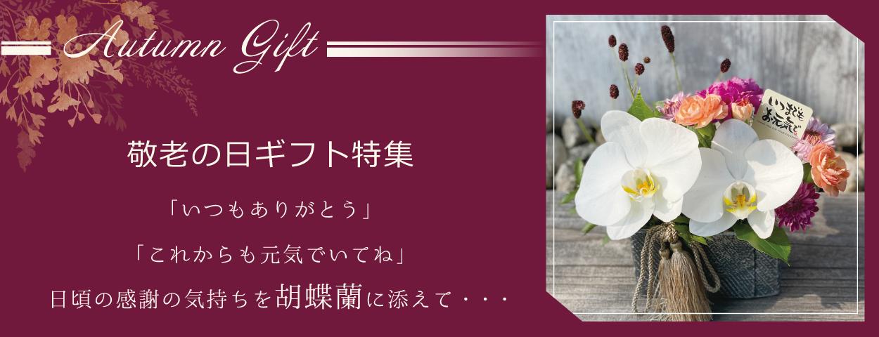 敬老の日に贈る胡蝶蘭