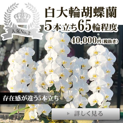白大輪胡蝶蘭5本立ち65輪程度