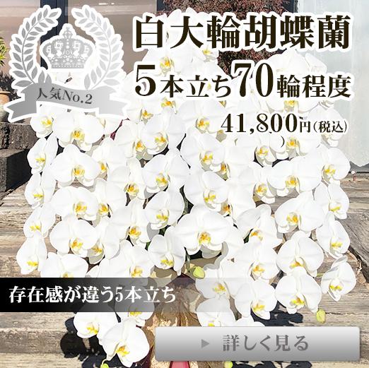 お祝いギフトに白大輪胡蝶蘭5本立ち65輪程度