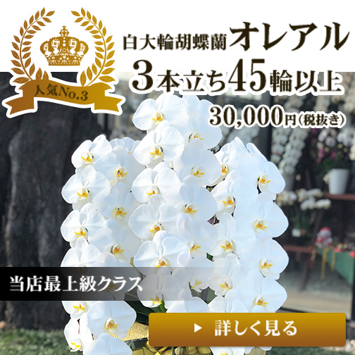 白大輪胡蝶蘭3本立ち45輪以上オレアル