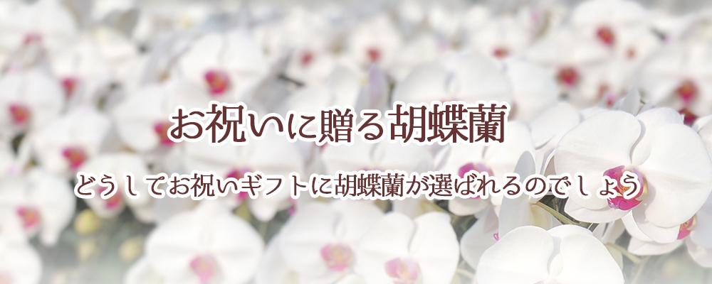胡蝶蘭がお祝いのギフトに選ばれるわけ