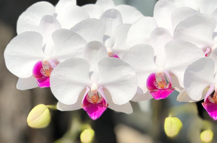 胡蝶蘭の縁起の良い花言葉