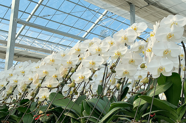 胡蝶蘭は季節を選ばず贈ることができる