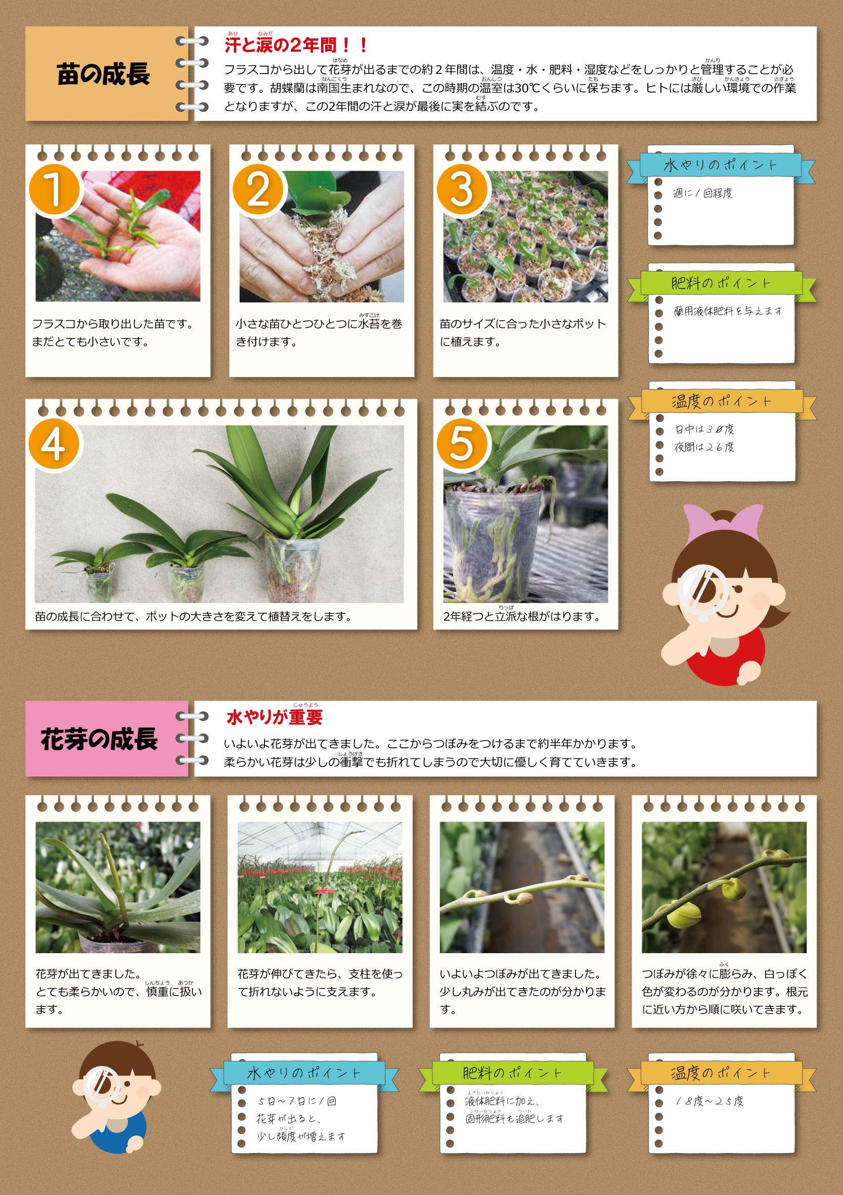 胡蝶蘭の苗の成長・花芽の成長
