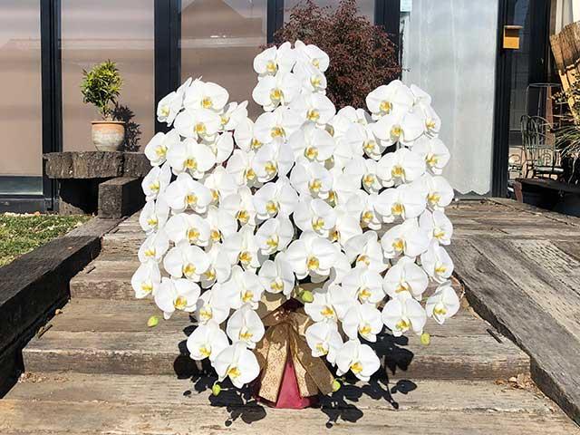 胡蝶蘭の贈り物