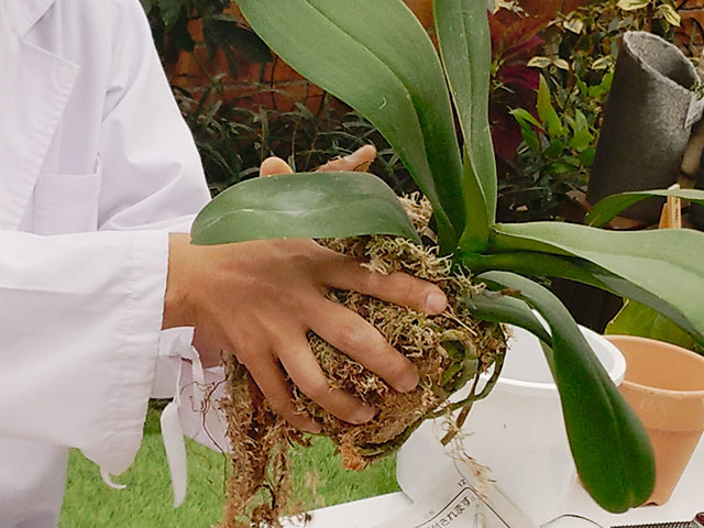 水苔の植替え方法