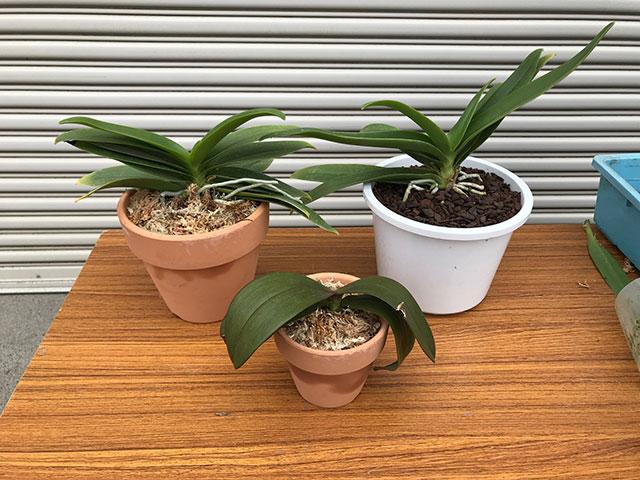 水苔の植替え方法2